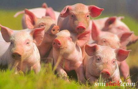 Людські органи будуть вирощувати в свинях