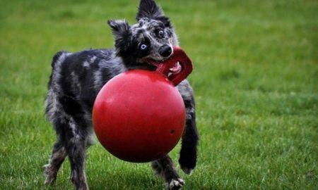 Веселые фотографии собак со своими любимыми игрушками