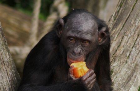 5 увлекательных фактов о символе 2016 года — обезьяне