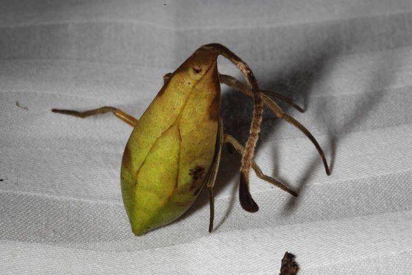 Пауки которые маскируются под листья обнаружены Китае