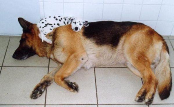 Фото собак которых сморил сон