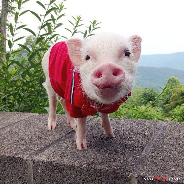 Модные свинки, завоевавшие сердца пользователей Инстаграм