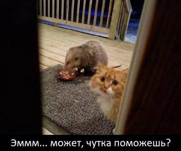 Уморительная реакция кота на опоссума, который съел его еду (7 фото)