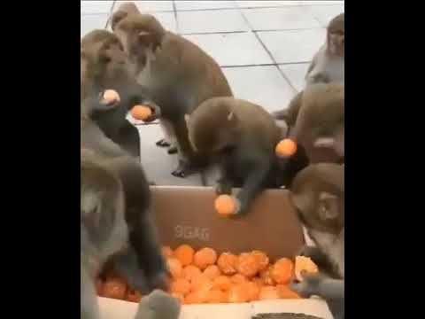 Отношение к халяве у обезьян и людей